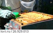 Купить «The beekeeper puts honeycomb into bucket», видеоролик № 26929013, снято 7 августа 2017 г. (c) Володина Ольга / Фотобанк Лори