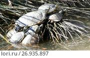 Купить «Sternotherus odoratus in lake», видеоролик № 26935897, снято 2 мая 2017 г. (c) BestPhotoStudio / Фотобанк Лори