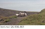 Group of sheep in field in Iceland. Стоковое видео, видеограф Юлия Колтырина / Фотобанк Лори