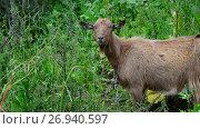 Купить «Brown goat without horns is grazing in nature», видеоролик № 26940597, снято 12 июля 2017 г. (c) Володина Ольга / Фотобанк Лори