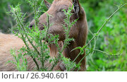 Купить «Brown goat without horns is grazing in nature», видеоролик № 26940601, снято 12 июля 2017 г. (c) Володина Ольга / Фотобанк Лори