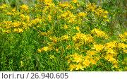 Купить «Blossoming St. John's wort», видеоролик № 26940605, снято 6 июля 2017 г. (c) Володина Ольга / Фотобанк Лори