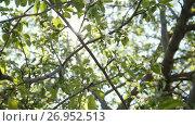 Купить «Colorful blooming apple tree in front of summer sun», видеоролик № 26952513, снято 20 июля 2018 г. (c) Константин Шишкин / Фотобанк Лори