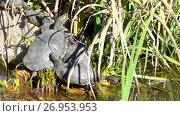 Купить «Sternotherus odoratus in lake», видеоролик № 26953953, снято 2 мая 2017 г. (c) BestPhotoStudio / Фотобанк Лори
