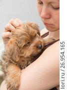 Купить «Girl holding a Norfolk Terrier puppy», фото № 26954165, снято 22 мая 2015 г. (c) Юлия Бабкина / Фотобанк Лори