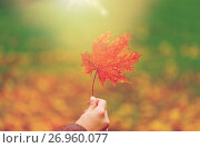 Купить «close up of woman hands with autumn maple leaves», фото № 26960077, снято 12 октября 2016 г. (c) Syda Productions / Фотобанк Лори
