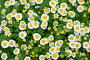 Tanacetum parthenium flowers background, фото № 26964921, снято 17 июня 2017 г. (c) Короленко Елена / Фотобанк Лори
