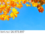 Купить «Autumn leaves background with space for text - colorful orange autumn maple leaves on the background of blue sky», фото № 26973897, снято 25 сентября 2018 г. (c) Зезелина Марина / Фотобанк Лори
