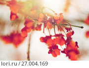 Купить «spindle or euonymus branch with fruits in winter», фото № 27004169, снято 11 ноября 2016 г. (c) Syda Productions / Фотобанк Лори