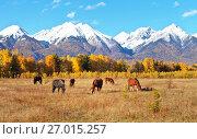 Купить «Живописный осенний пейзаж с лошадьми, пасущимися на желтом лугу на фоне заснеженных гор в солнечный день», фото № 27015257, снято 27 сентября 2017 г. (c) Виктория Катьянова / Фотобанк Лори