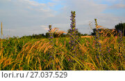 Купить «Fragment Meadows with different flowers and herbs in sunset light, Russia», видеоролик № 27037529, снято 27 июня 2017 г. (c) Володина Ольга / Фотобанк Лори