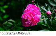 Купить «Large pink peony flower on flowerbed», видеоролик № 27046889, снято 22 июня 2017 г. (c) Володина Ольга / Фотобанк Лори