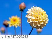 Купить «Желтые георгины на фоне голубого неба. Фокус на переднем плане», эксклюзивное фото № 27060593, снято 8 октября 2017 г. (c) Svet / Фотобанк Лори