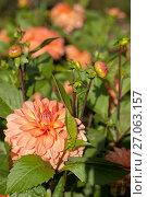 Купить «Цветы и листья георгина. Фокус на переднем плане (лат. Dаhlia)», эксклюзивное фото № 27063157, снято 18 июля 2019 г. (c) Svet / Фотобанк Лори