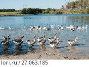 Купить «Стая домашних гусей на реке», эксклюзивное фото № 27063185, снято 25 сентября 2017 г. (c) Игорь Низов / Фотобанк Лори