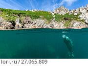 Купить «RF - Split level image of young grey seal (Halichoerus grypus) hanging beneath surface close to shore. Lundy Island, Devon, England, United Kingdom. British...», фото № 27065809, снято 21 августа 2019 г. (c) Nature Picture Library / Фотобанк Лори
