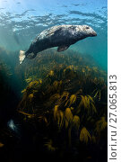 Купить «RF - Male grey seal (Halichoerus grypus) swimming above kelp forest (oarweed: laminaria: Laminaria hyperborea). Farne Islands, Northumberland, England, United Kingdom. British Isles. North Sea.», фото № 27065813, снято 21 ноября 2017 г. (c) Nature Picture Library / Фотобанк Лори