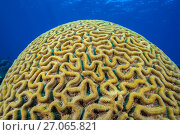 RF - Boulder brain coral (Colpophyllia natans) growing on  coral reef. East End, Grand Cayman, Cayman Islands, British West Indies. Caribbean Sea. (This... Стоковое фото, фотограф Alex Mustard / Nature Picture Library / Фотобанк Лори