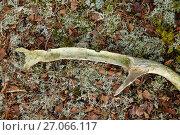 Купить «Red deer (Cervus elaphus) antler chewed and knawed by Red squirrels (Sciurus vulgaris). Cairngorms National Park, Highlands, Scotland; UK, December.», фото № 27066117, снято 26 сентября 2018 г. (c) Nature Picture Library / Фотобанк Лори