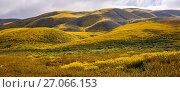 Купить «Mass wildflower display with Lanceleaf monolopia (Monolopia lanceolata), and Orange fiddle neck (Amsinckia intermedia) The Temblor Range, also carpeted...», фото № 27066153, снято 22 сентября 2018 г. (c) Nature Picture Library / Фотобанк Лори