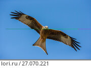 Купить «Red Kite (Milvus milvus) hunting, Wales, UK, May.», фото № 27070221, снято 24 сентября 2018 г. (c) Nature Picture Library / Фотобанк Лори