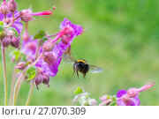 Купить «Buff tailed bumblebee (Bombus terrestris), flying to Geranium flower, Monmouthshire, Wales, UK. May.», фото № 27070309, снято 12 декабря 2017 г. (c) Nature Picture Library / Фотобанк Лори