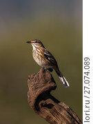 Купить «Whitebrowed scrub robin (Cercotrichas leucophrys), Zimanga Game Reserve, KwaZulu-Natal, South Africa.», фото № 27074089, снято 18 апреля 2019 г. (c) Nature Picture Library / Фотобанк Лори