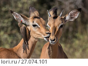 Impala (Aepyceros melampus) with redbilled oxpecker (Buphagus erythrorhynchus), Kruger National Park, South Africa. Стоковое фото, фотограф Ann  & Steve Toon / Nature Picture Library / Фотобанк Лори