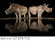 Купить «White rhino (Ceratotherium simum) at waterhole  at night, Zimanga Private Game Reserve, KwaZulu-Natal, South Africa.», фото № 27074113, снято 23 мая 2018 г. (c) Nature Picture Library / Фотобанк Лори