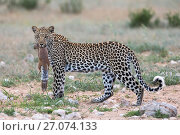 Купить «Leopard (Panthera pardus) female with ground squirrel (Xerus inauris)  it has just caught, Kgalagadi Transfrontier Park, Northern Cape, South Africa.», фото № 27074133, снято 12 июля 2020 г. (c) Nature Picture Library / Фотобанк Лори