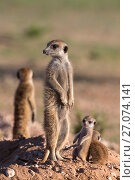 Купить «Meerkat (Suricata suricatta) with young, Kgalagadi Transfrontier Park, Northern Cape, South Africa, January.», фото № 27074141, снято 12 июля 2020 г. (c) Nature Picture Library / Фотобанк Лори