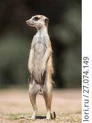 Купить «Meerkat (Suricata suricatta), Kgalagadi Transfrontier Park, Northern Cape, South Africa, January.», фото № 27074149, снято 12 июля 2020 г. (c) Nature Picture Library / Фотобанк Лори