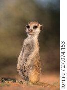 Купить «Young meerkat (Suricata suricatta), Kgalagadi Transfrontier Park, Northern Cape, South Africa, January.», фото № 27074153, снято 12 июля 2020 г. (c) Nature Picture Library / Фотобанк Лори