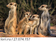 Meerkats (Suricata suricatta), Kgalagadi Transfrontier Park, Northern Cape, South Africa, January. Стоковое фото, фотограф Ann  & Steve Toon / Nature Picture Library / Фотобанк Лори