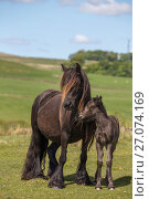 Купить «Fell pony with foal, Greenholme stud, Stoney Gill Farm, Shap, Cumbria, May 2016», фото № 27074169, снято 17 августа 2018 г. (c) Nature Picture Library / Фотобанк Лори