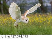 Barn owl (Tyto alba) in flight, captive, Cumbria, UK. Стоковое фото, фотограф Ann  & Steve Toon / Nature Picture Library / Фотобанк Лори