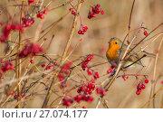 Купить «Robin (Erithacus rubecula) with winter berries, Caerlaverock Wildfowl & Wetland Trust WWT reserve, Dumfries & Galloway, Scotland, November.», фото № 27074177, снято 18 апреля 2019 г. (c) Nature Picture Library / Фотобанк Лори