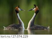 Great crested grebe (Podiceps cristatus) perfectly mimicking each others movements in courtship behaviour. Den Oever, The Netherlands May. Стоковое фото, фотограф David  Pattyn / Nature Picture Library / Фотобанк Лори