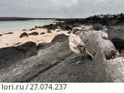 Espanola mockingbird (Nesomimus macdonaldi) on the beach at Espanola Island, Galapagos. Стоковое фото, фотограф Roy Mangersnes / Nature Picture Library / Фотобанк Лори