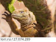 Купить «Galapagos land iguana (Conolophus subcristatus) feeding on cactus on North Seymour Island, Galapagos.», фото № 27074289, снято 22 сентября 2018 г. (c) Nature Picture Library / Фотобанк Лори