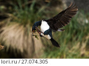 Купить «Rock shag (Phalacrocorax magellanicus) coming in to the nest with nesting material. Gypsy Cove, Falkland Islands.», фото № 27074305, снято 7 июля 2020 г. (c) Nature Picture Library / Фотобанк Лори