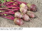 Купить «Урожай свеклы на земле», эксклюзивное фото № 27091857, снято 25 сентября 2017 г. (c) Елена Коромыслова / Фотобанк Лори