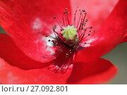 Купить «Красный мак крупным планом», фото № 27092801, снято 26 мая 2017 г. (c) Яна Королёва / Фотобанк Лори