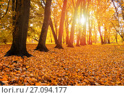 Купить «Autumn landscape view of autumn park at sunset. Row of autumn trees with fallen dry leaves», фото № 27094177, снято 10 октября 2017 г. (c) Зезелина Марина / Фотобанк Лори