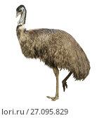 Купить «Adult ostrich isolated», фото № 27095829, снято 31 августа 2016 г. (c) Яков Филимонов / Фотобанк Лори