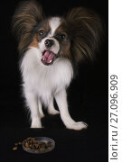 Купить «Beautiful young male dog Continental Toy Spaniel Papillon eats dry food on black background», фото № 27096909, снято 9 октября 2017 г. (c) Юлия Машкова / Фотобанк Лори
