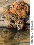 Купить «Bengal tiger (Panthera tigris) tigress 'Noor T39' with cubs age three months , Ranthambhore, India», фото № 27101781, снято 21 марта 2018 г. (c) Nature Picture Library / Фотобанк Лори