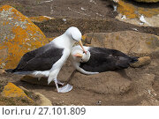 Купить «Black-browed albatross (Thalassarche melanophrys) pair at nest mutual preening, Saunders Island Falkland Islands, November.», фото № 27101809, снято 25 марта 2019 г. (c) Nature Picture Library / Фотобанк Лори