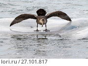 Купить «Southern giant petrel (Macronectes giganteus) wings spread balancing on slippery dead Killer whale (Orcinus orca) off Sealion Island, Falkland Islands, December.», фото № 27101817, снято 25 марта 2019 г. (c) Nature Picture Library / Фотобанк Лори