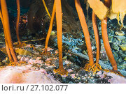 Купить «Kelp holdfast attached to rock, underwater, Svalbard, Norway, September.», фото № 27102077, снято 22 ноября 2017 г. (c) Nature Picture Library / Фотобанк Лори